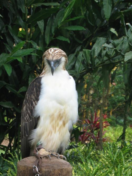 history philippine eagle